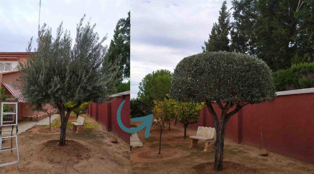 Poda de olivo ornamental