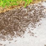 ¿Cómo eliminar hormigas del jardín?