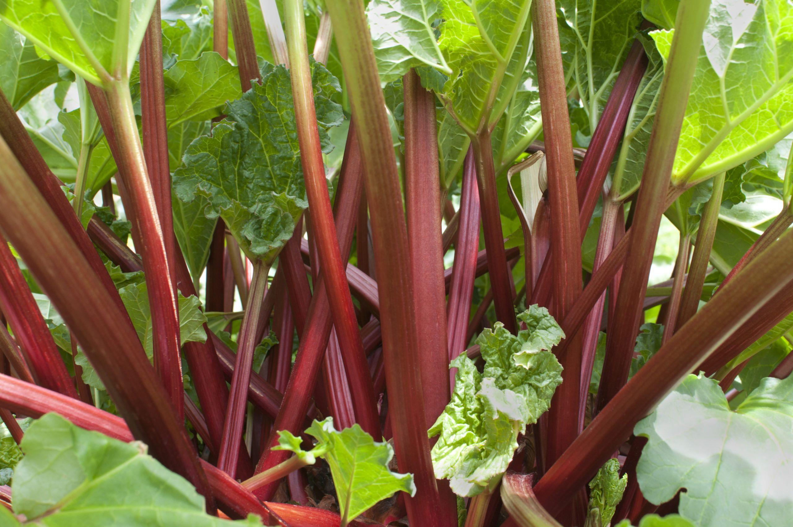 El ruibarbo: todo lo que necesitas saber sobre esta planta
